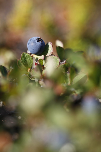 Close-up of a bog blueberry, Vaccinium uliginosum, in summer on the tundra