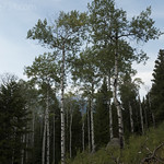 Aspen stand on Aspen Ridge
