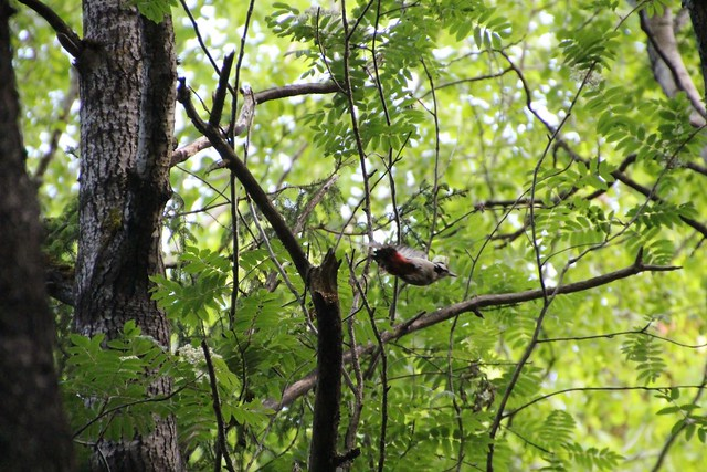 Suur-kirjurähn / Great spotted woodpecker (Dendrocopos major)