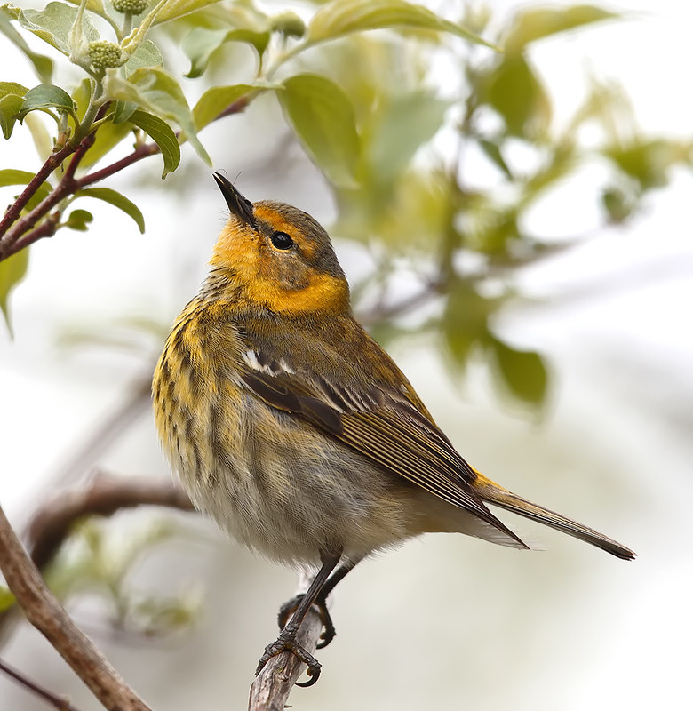 Cape May Warbler [male]