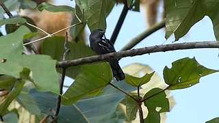 White-winged Becard  male Pachyrhamphus polychopterus