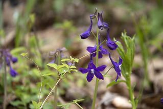 Delphinium tricorne, Standing Stone State Park, Overton County, Tennessee