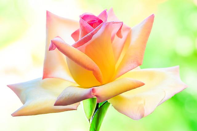 Rose Redwihie