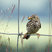 Meadow Pipit (Anthus pratensis) by Jason Kernohan