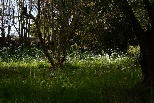 Allium neapolitanum   by pamina FJ