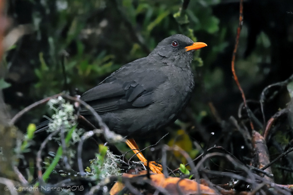 GREAT THRUSH 1