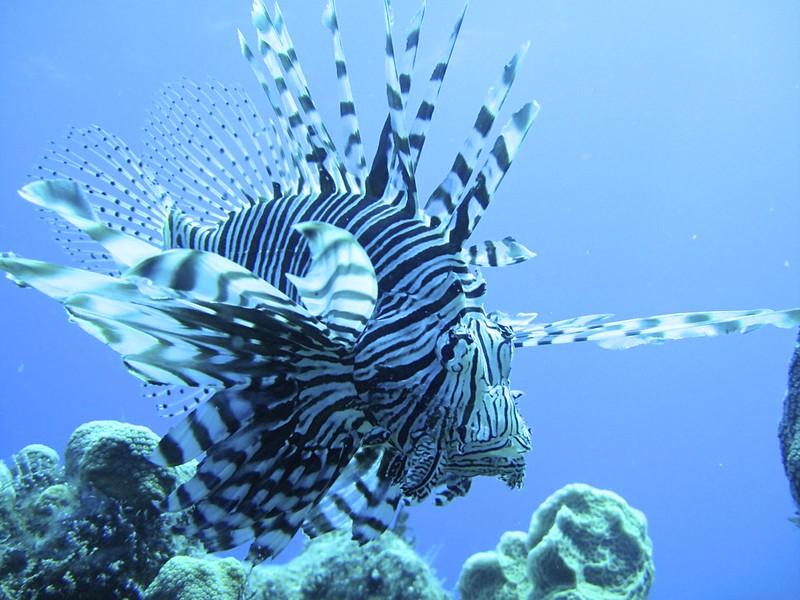 More St. Croix Lionfish