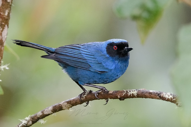 Maskered Flowerpiercer