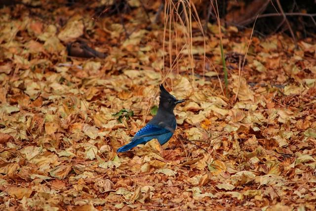 Steller's Jay (cyanocitta stelleri) in Fall Leaves
