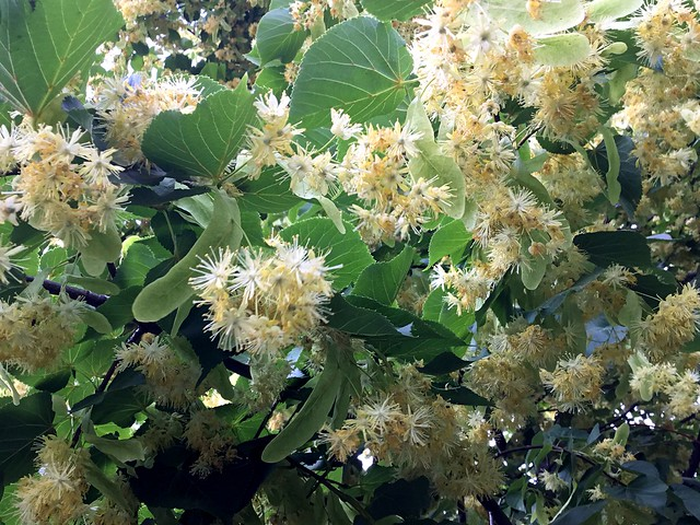 Lime-tree flowers smell of fresh honey