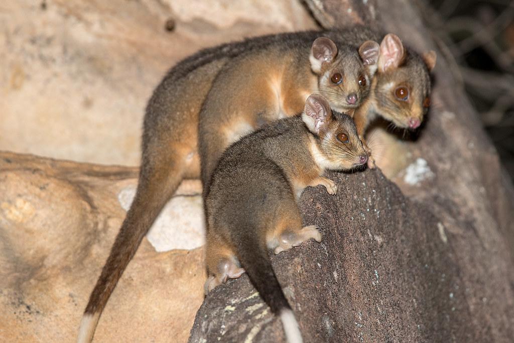 Ring-tailed Possum 154 3678
