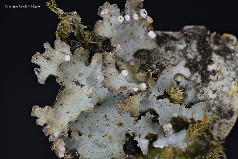 Lichen of Hawaii