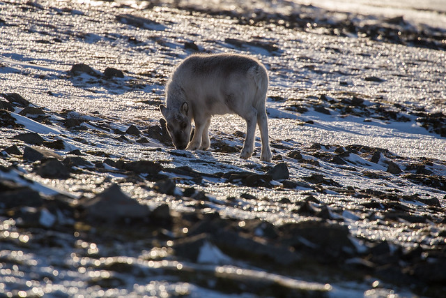 A Svalbard reindeer