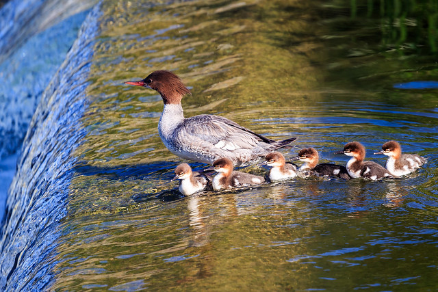 Waiting for Mom's Decision (Common Mergansers)(explored on 5/29/2018)