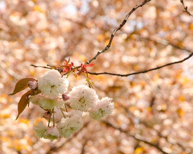 Lots More Sakura Blossoms