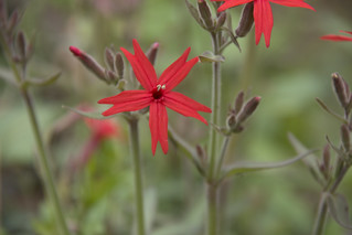 Silene virginica, Standing Stone State Park, Overton County, Tennessee 1