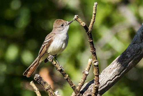 ashthroatedflycatcher myiarchuscinerascens emigrantlake jacksoncountyoregon oregon usa markheatherington