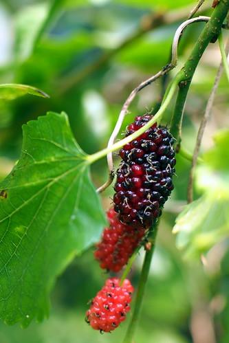 mulberries | by salazar62