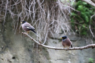 Asia Myna | by Gunn Shots (On and off these days)