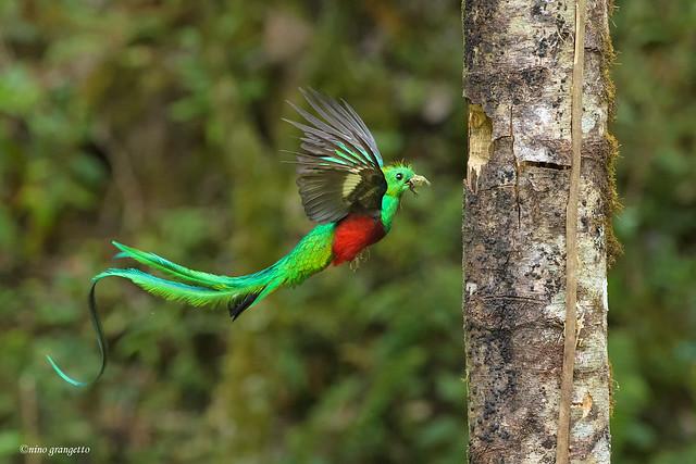 Quetzal_NGR3078
