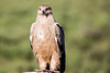 Tawny Eagle by Ring a Ding Ding