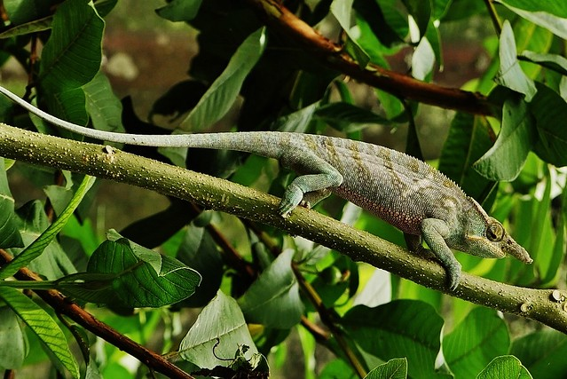 Two Banded Chameleon (M) (Furcifer balteatus)