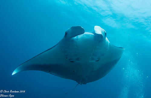 Diving with Manta Rays front ventral view, gentle giants