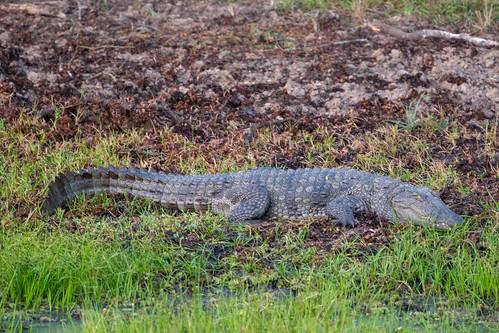 Crocodylus palustris | by seghal1