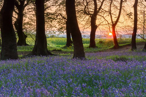 2018 bluebells silverwood may sony southyorkshire alpha a77 spring landscape carpet blue sunset sun ravenfield england unitedkingdom gb trees lowlight outdoor woodland woods wildflower wild