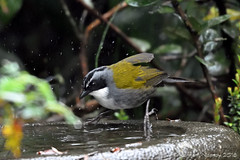STRIPE-HEADED BRUSH-FINCH 1