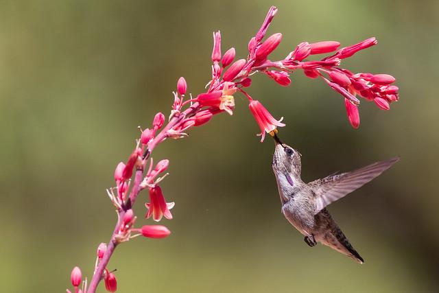 Young Male Costa's Hummingbird