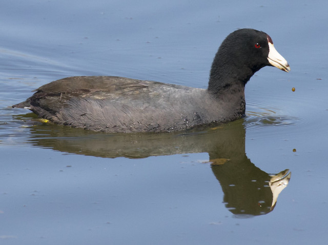 American Coot and one drop of muddy water