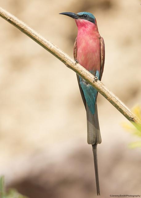 Southern Carmine Bee-eater, Merops nubicoides,  Matapa Mine, Matabeleland, Zimbabwe