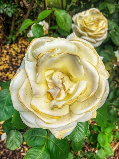 White Rose of Winchester