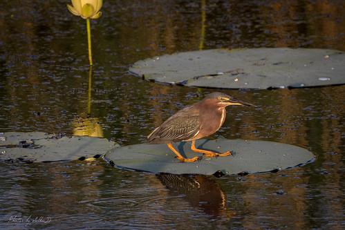 anahuacnwr birds butoridesstriatus butoridesvirescens chamberscounty dawn flowers greenheron greenbackedheron heron lilies lilypad morning nationalwildliferefuge pond reflection sunrise texas unitedstates water anahuac us
