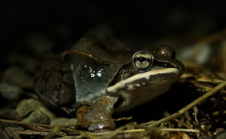 Wood frog (Lithobates sylvaticus) | by phl_with_a_camera1