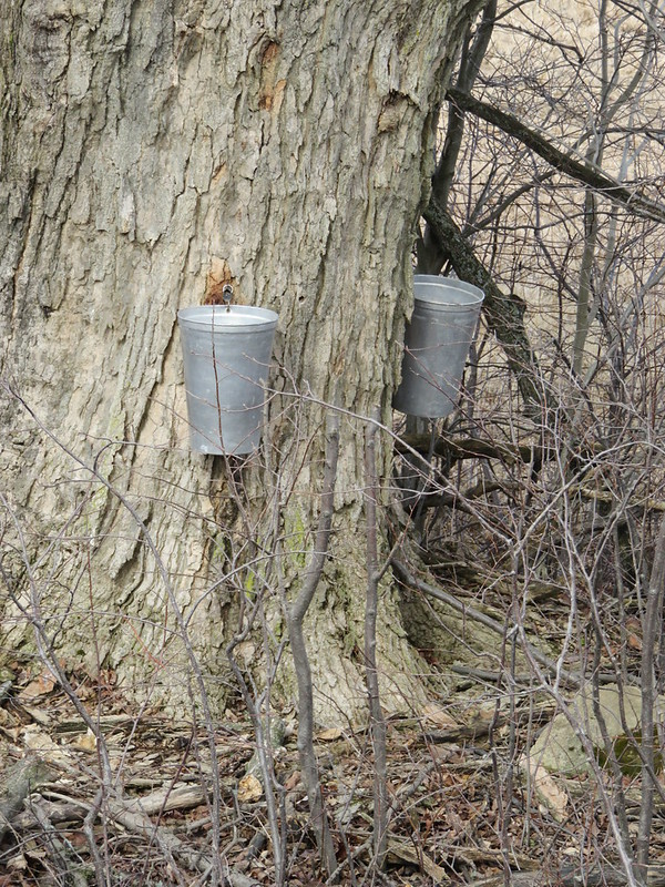 Sap buckets. Maple syrup time.