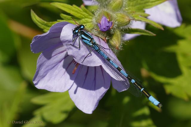 Blue Damselfly rests on a flower