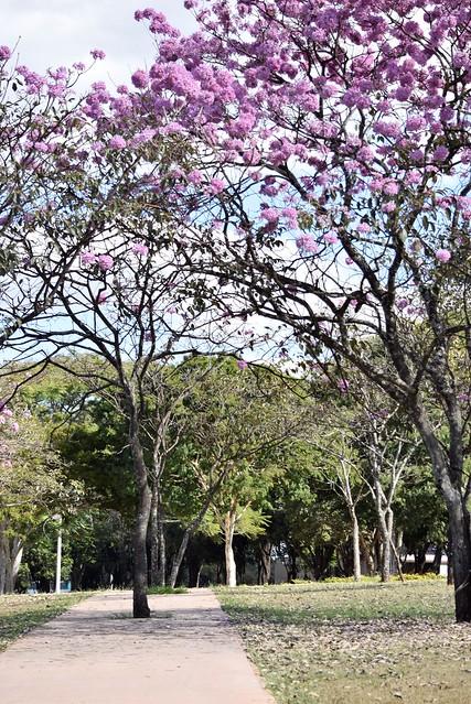 Flowery of Ipês