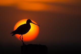 The black tailed Godwit at sunset