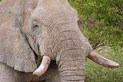 Саванный слон, Loxodonta africana, African bush elephant