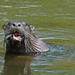 Flickr photo 'North American River Otter (Lontra canadensis)' by: Mary Keim.