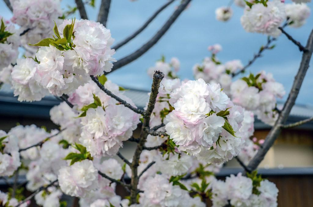 white Blossoms Arashiyama