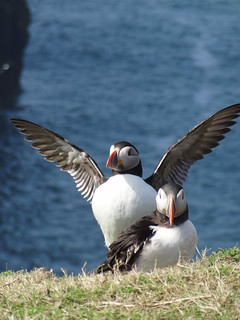 Puffins, Skomer | by Mary Loosemore