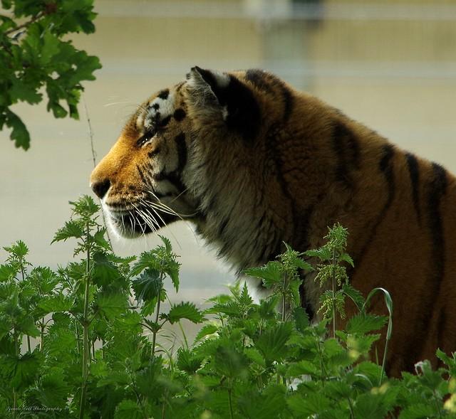 Amur tiger (2)