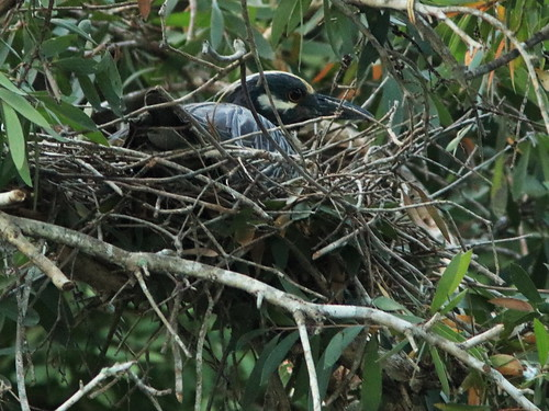 Yellow-crowned Night-Heron incubating position 12 02-20180414