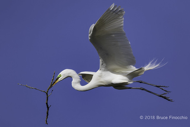 Flying Great Egret Carrys Stick To Nest