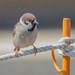 スズメ(Eurasian tree sparrow)