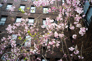 Urban Cherry Blossoms | by Mahler_seele