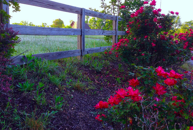 Knockout Roses Along, The Fence Line............ Explored # 32